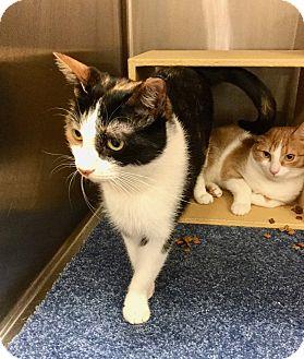 Calico Cat for adoption in Colmar, Pennsylvania - Evie