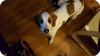 Hound (Unknown Type) Mix Dog for adoption in Greenville, South Carolina - Lambchop
