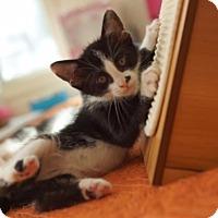 Adopt A Pet :: Sophie-Ann - Los Angeles, CA