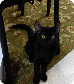 Domestic Shorthair Kitten for adoption in Deerfield Beach, Florida - Black Pearl
