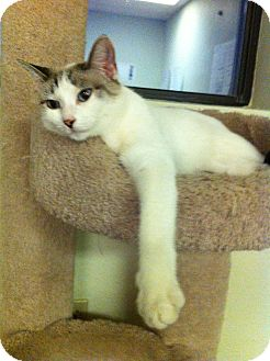 Domestic Shorthair Cat for adoption in Phoenix, Arizona - Sandy