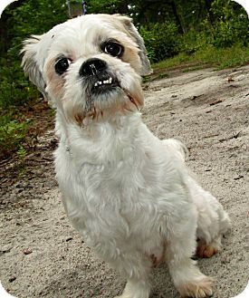 Shih Tzu Dog for adoption in Forked River, New Jersey - Coco