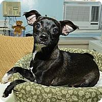 Adopt A Pet :: Chandler - New York, NY