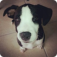 Adopt A Pet :: Coco - Hollywood, FL