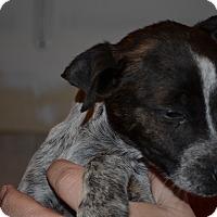 Adopt A Pet :: Oakley - Westminster, CO