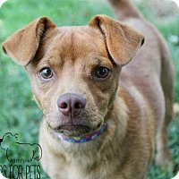 Chihuahua Dog for adoption in Troy, Illinois - Leo Fostered (Tammy)