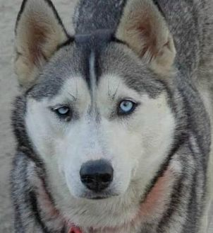 Siberian Husky Dog for adoption in Raleigh, North Carolina - Bridget