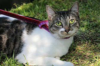 Domestic Shorthair Cat for adoption in Ocean Springs, Mississippi - Ally
