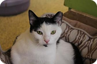 Domestic Shorthair Cat for adoption in Indianapolis, Indiana - Norville