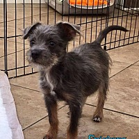 Adopt A Pet :: Snickers - Rosamond, CA