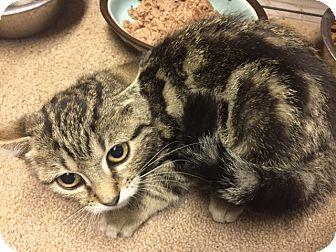 Domestic Shorthair Kitten for adoption in Forest Hills, New York - Doran