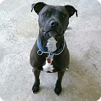 Pit Bull Terrier Dog for adoption in Fremont, Ohio - Cratos