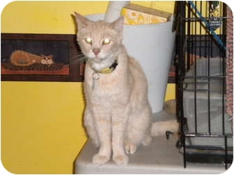 Domestic Shorthair Cat for adoption in Cleveland, Ohio - Troy