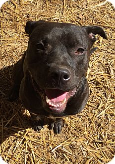 American Staffordshire Terrier/Labrador Retriever Mix Dog for adoption in Los Angeles, California - RANGER - COURTESY
