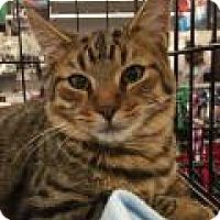 Adopt A Pet :: Tiger - East Hanover, NJ
