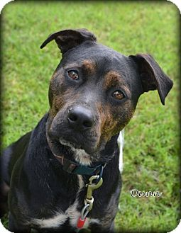 Rottweiler/Boxer Mix Dog for adoption in Independence, Missouri - Dunn