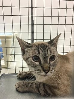 Domestic Shorthair Cat for adoption in Westbury, New York - Seadrea