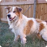 Adopt A Pet :: Duke PENDING - Westport, CT
