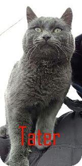 Domestic Shorthair Cat for adoption in Idaho Falls, Idaho - Tater