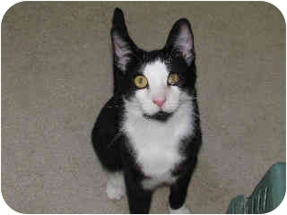 Domestic Shorthair Cat for adoption in San Ramon, California - Maxwell