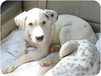 Dalmatian Mix Puppy for adoption in Milwaukee, Wisconsin - Nugett