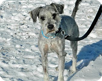Schnauzer (Miniature) Mix Dog for adoption in Cheyenne, Wyoming - Abel