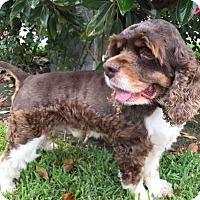 Adopt A Pet :: Paxton - Sugarland, TX