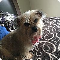 Adopt A Pet :: Cookie - Tumwater, WA