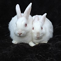 Adopt A Pet :: Lysander & Aliena - Watauga, TX