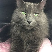 Russian Blue Cat for adoption in Venice, Florida - Duster