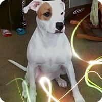 Adopt A Pet :: Bella - Philadelphia, PA
