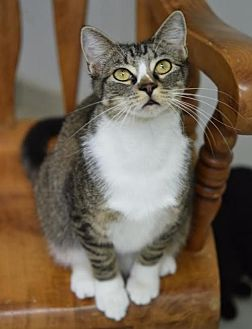 Domestic Shorthair Cat for adoption in DFW Metroplex, Texas - BIFF
