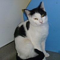Adopt A Pet :: Miss Oreo - Hamburg, NY