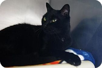 Domestic Shorthair Cat for adoption in New Milford, Connecticut - Boo
