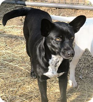 Australian Cattle Dog/Corgi Mix Dog for adoption in Godley, Texas - Macey