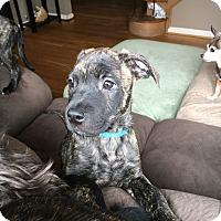 Adopt A Pet :: Puppy Blue - Adoption Pending - Beachwood, OH