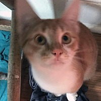 Adopt A Pet :: Cody and Aiden: Gorgeous Orange Tabby Teen Kittens - Brooklyn, NY