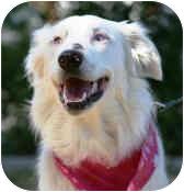 Australian Shepherd Dog for adoption in Mesa, Arizona - Nike