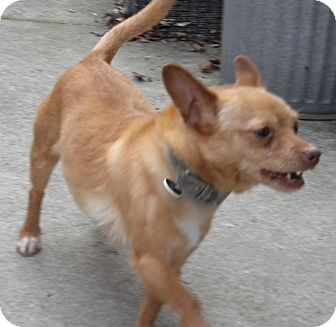 Chihuahua Dog for adoption in Middle Island, New York - Rusty