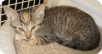 Bengal Kitten for adoption in Dallas, Texas - Brunet