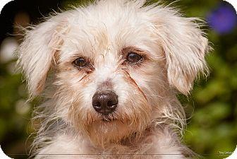 Poodle (Miniature) Mix Dog for adoption in El Cajon, California - NENA (NY)
