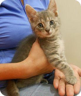 Domestic Shorthair Kitten for adoption in Reston, Virginia - Stormy