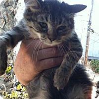 Adopt A Pet :: Amelie - Santa Monica, CA