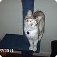 Adopt A Pet :: Linus the fetching cat - NEWCASTLE, CA