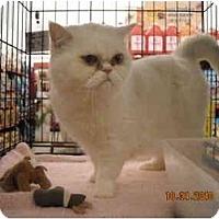 Adopt A Pet :: Snowy - Riverside, RI