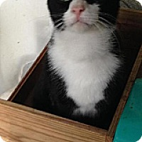 Domestic Shorthair Cat for adoption in Miami, Florida - Tuxxy