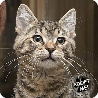 Domestic Shorthair Kitten for adoption in Troy, Ohio - Benny