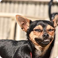 Adopt A Pet :: Shiloh - Meridian, ID