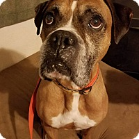 Adopt A Pet :: Wrigley - Wethersfield, CT