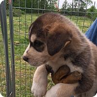 Adopt A Pet :: Silky - Hohenwald, TN